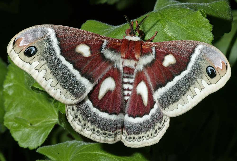 http://www.pikespeakphoto.com/images/butterflies/hyalophora.jpg